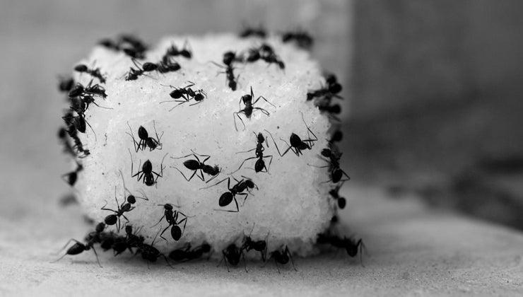 kill-ants-using-vinegar