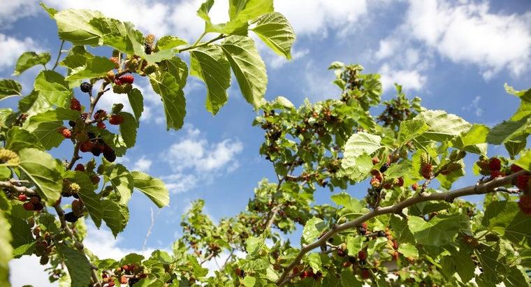 kill-mulberry-tree