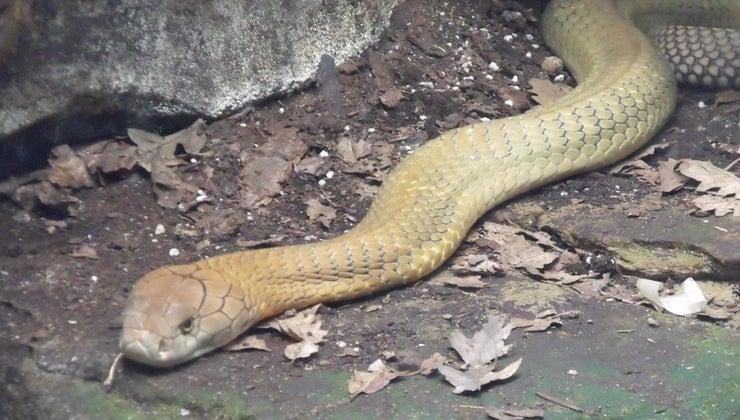king-cobra-eat