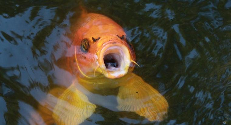 koi-fish-edible