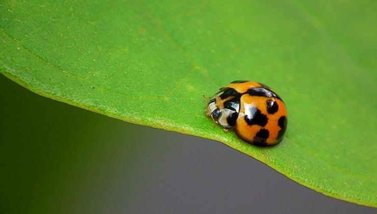 ladybug-adaptations