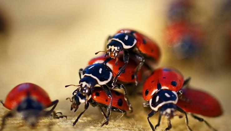 ladybugs-live
