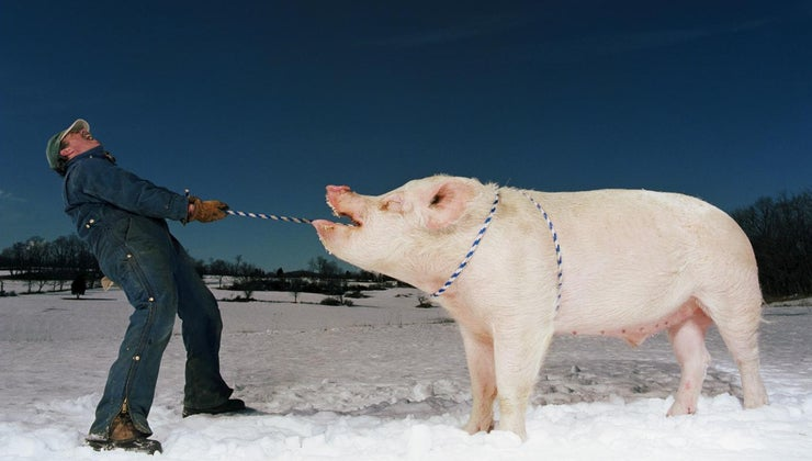 large-adult-pigs