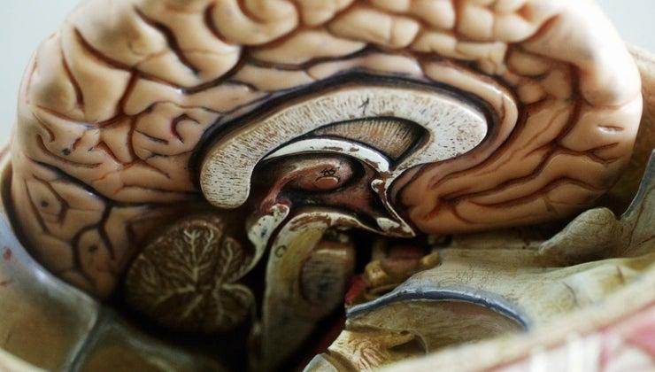 largest-part-brain