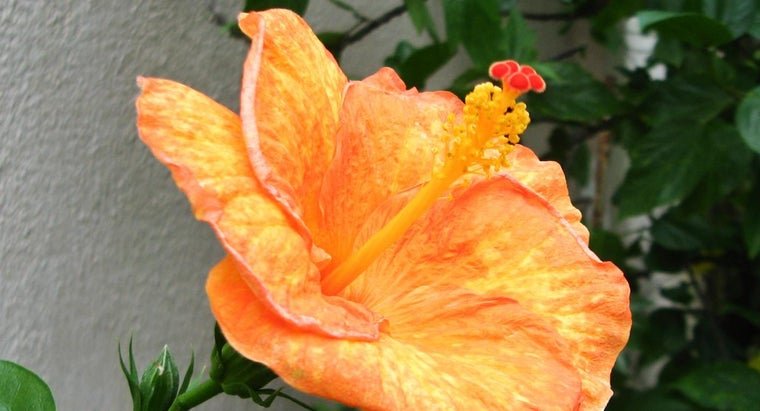 leaves-hibiscus-turning-yellow
