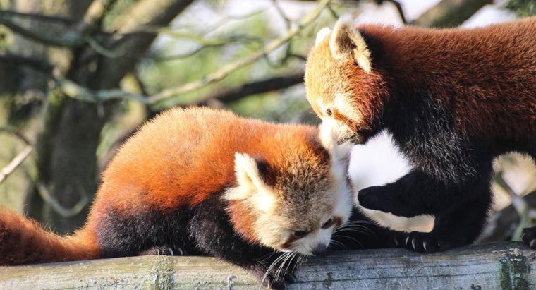legal-own-red-panda-pet