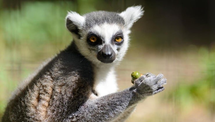 lemurs-eat