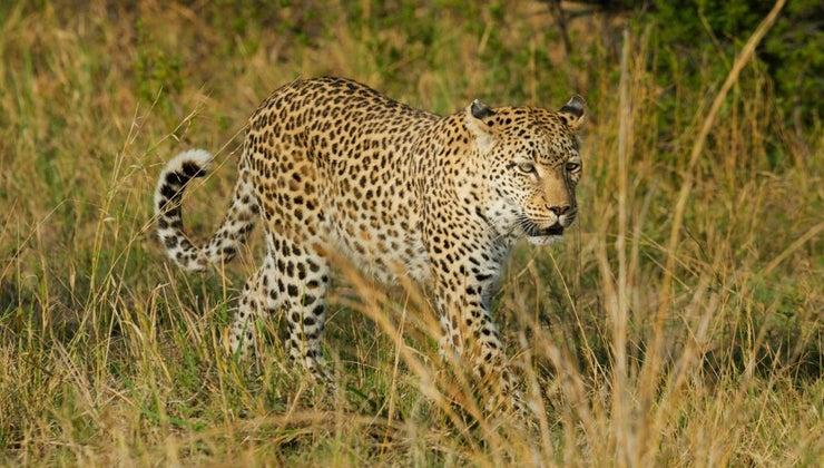 leopard-s-habitat
