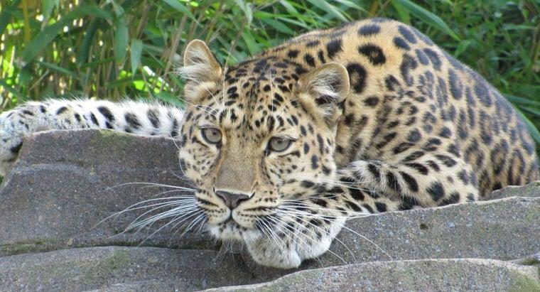 leopards-eat