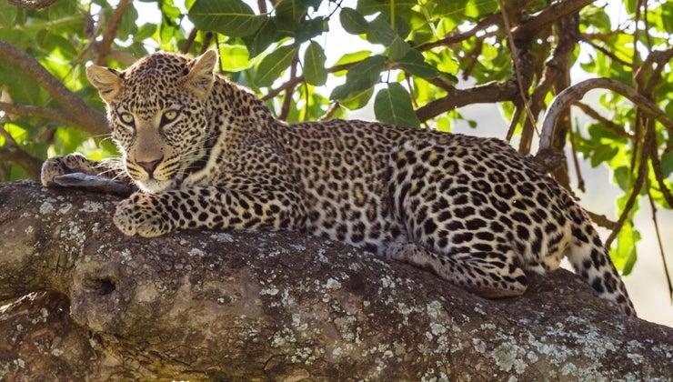 leopards-endangered