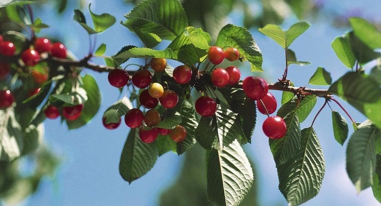 life-cycle-cherry-tree