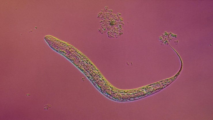 life-cycle-tapeworm