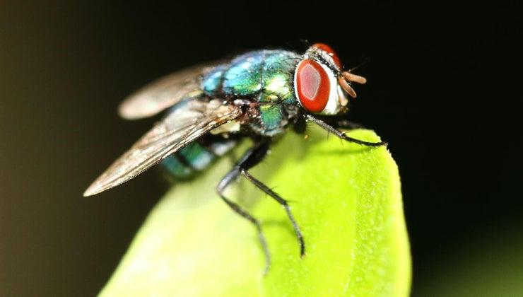 life-span-house-fly