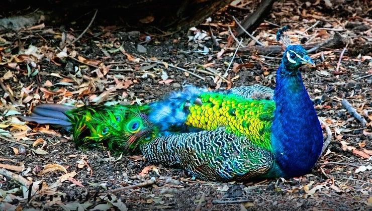 lifespan-peacock