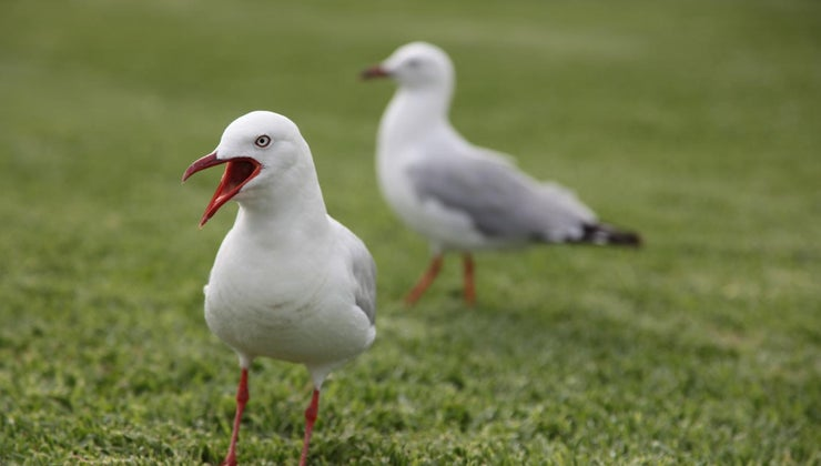 lifespan-seagull