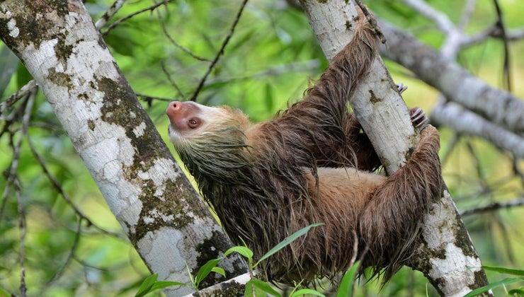 lifespan-sloth