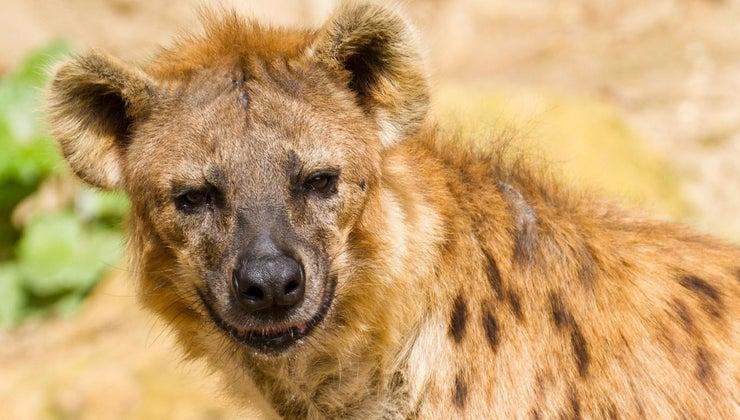 lions-eat-hyenas
