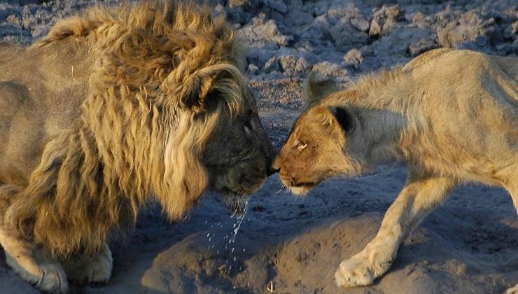 lions-mate