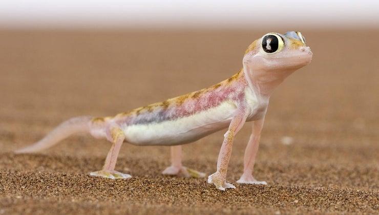 lizards-move