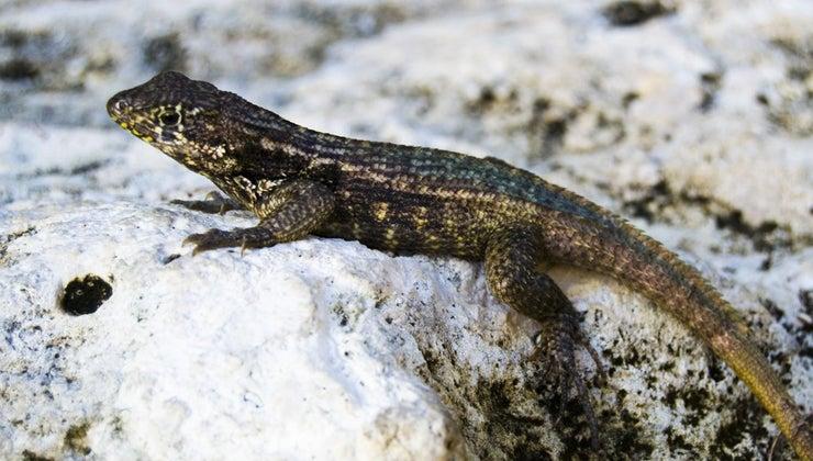 lizards-winter