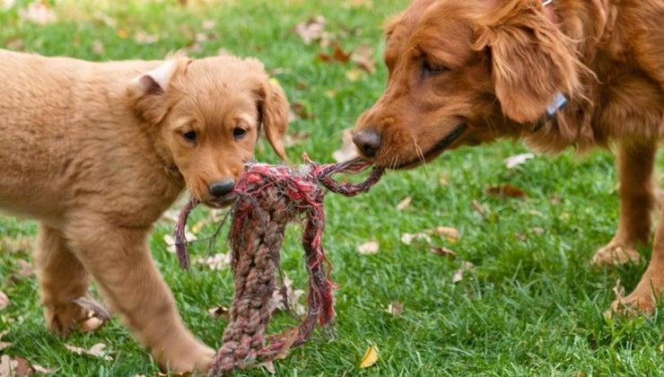 long-after-female-dog-pups-she-heat-again