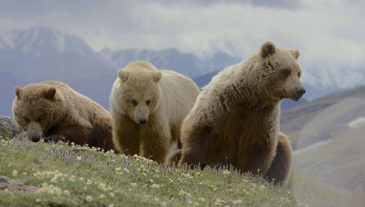 long-bears-live