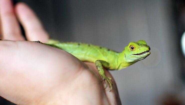 long-can-lizard-live-food