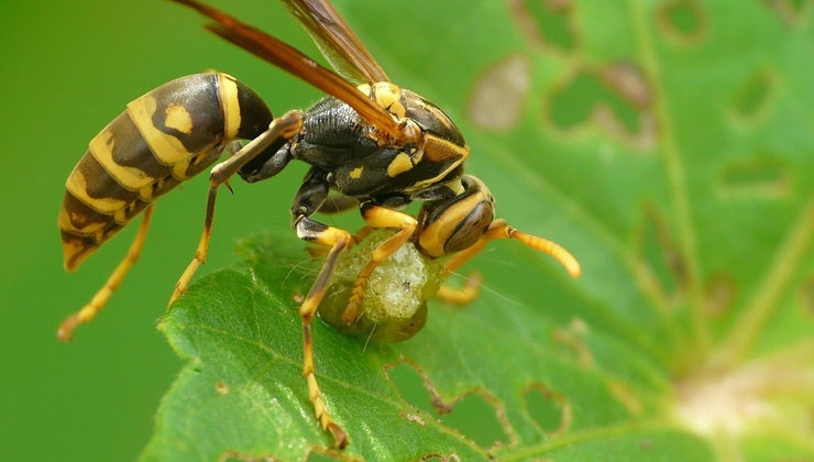 long-can-wasp-live-food