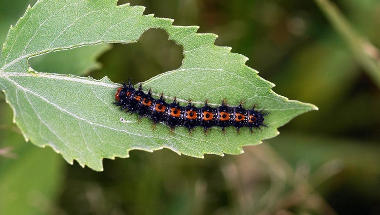 long-caterpillar-stay-cocoon