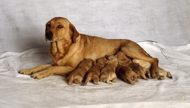 long-dog-give-birth