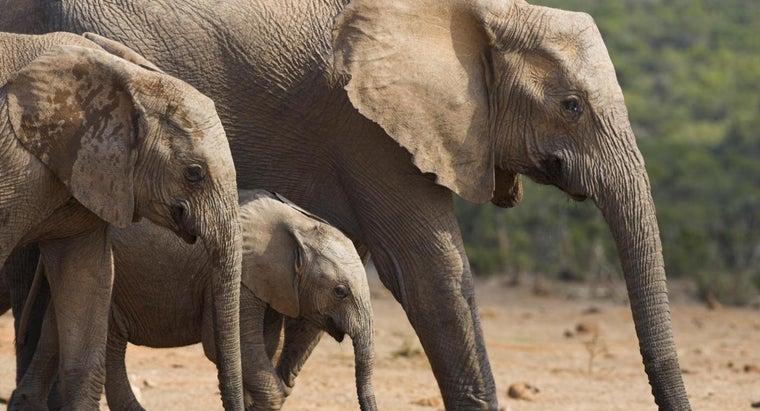long-elephant-pregnant