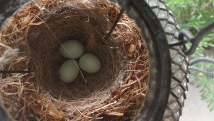 long-finch-eggs-hatch