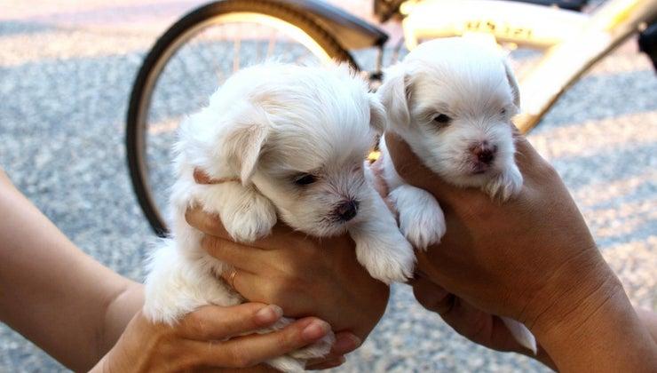 long-maltese-puppies-grow-full-size