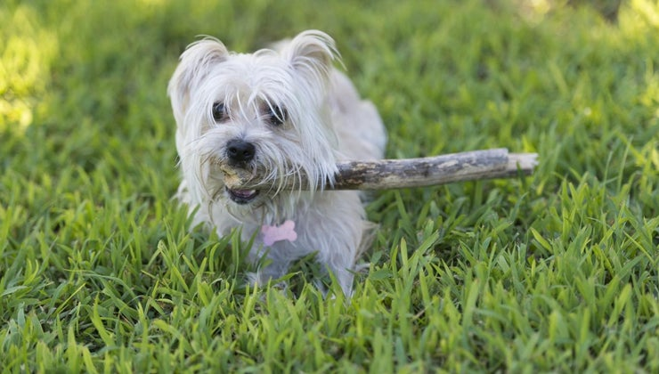 long-morkie-puppies-become-full-grown