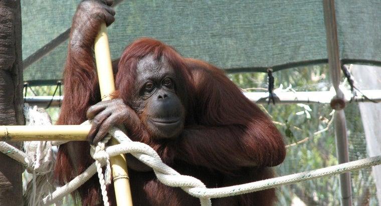 long-orangutans-live