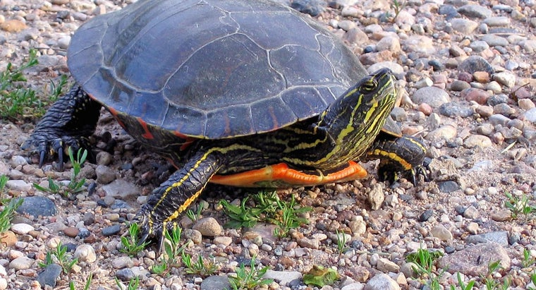 long-painted-turtles-live