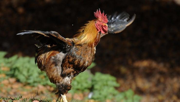 longest-recorded-flight-chicken