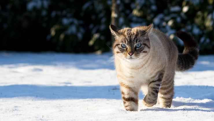 lynx-point-siamese-cat-look-like