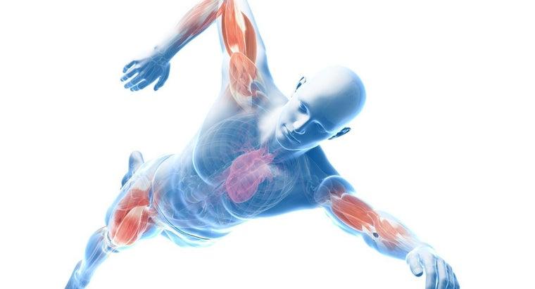 major-contour-muscles-body