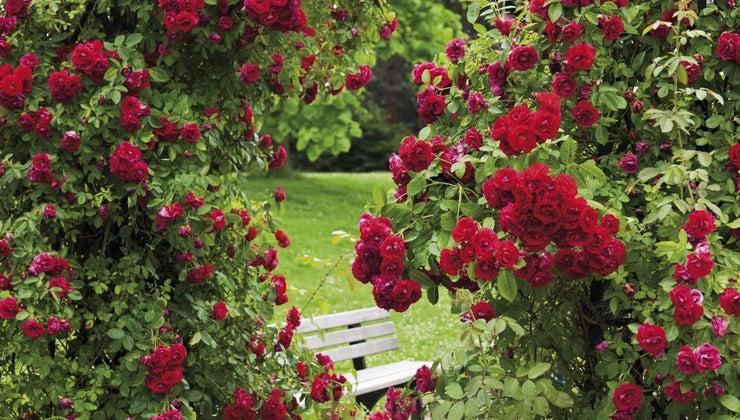 make-natural-fungicide-rose-bushes