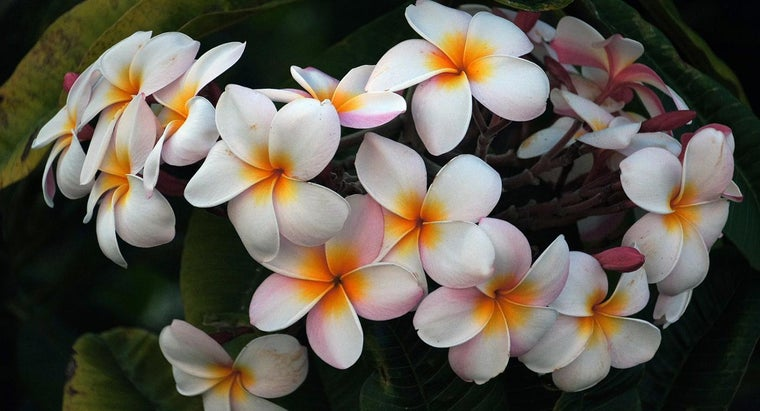 make-plumeria-plant-flower