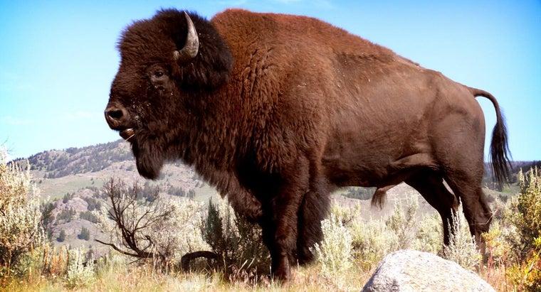male-buffalo-called