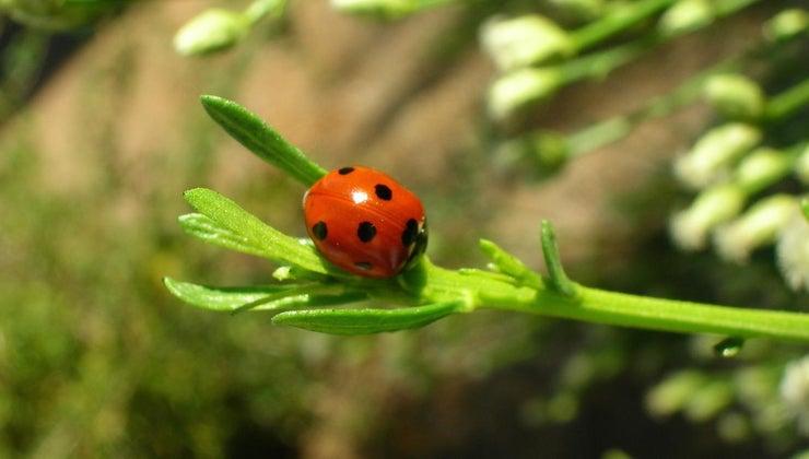 male-ladybug-called