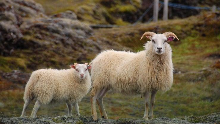 male-sheep-called