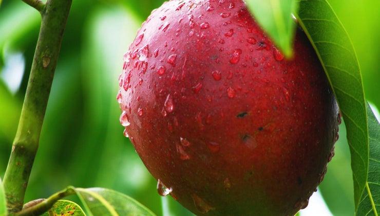 mango-taste-like