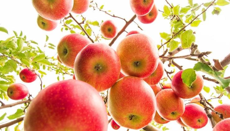 many-apples-apple-trees-produce