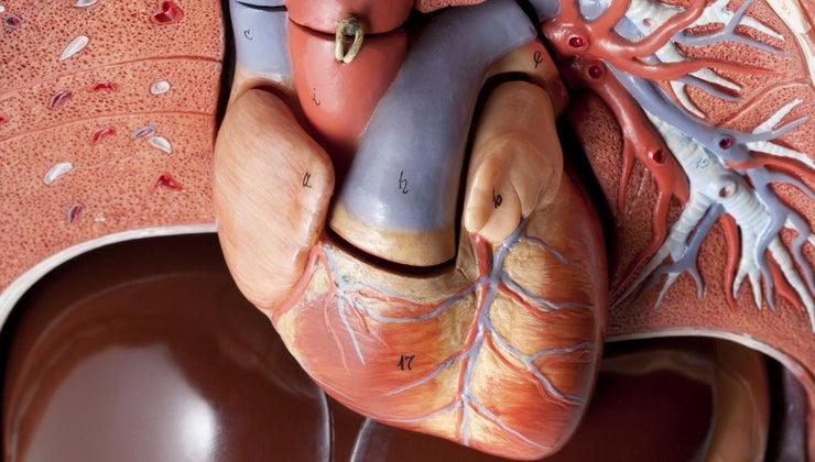 many-arteries-human-heart