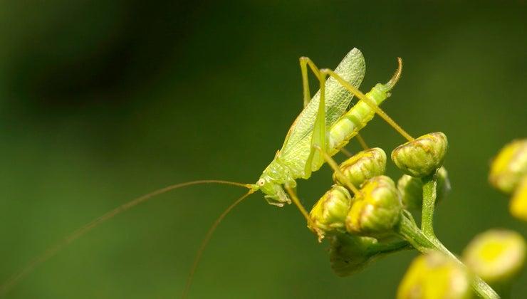 many-eyes-grasshopper