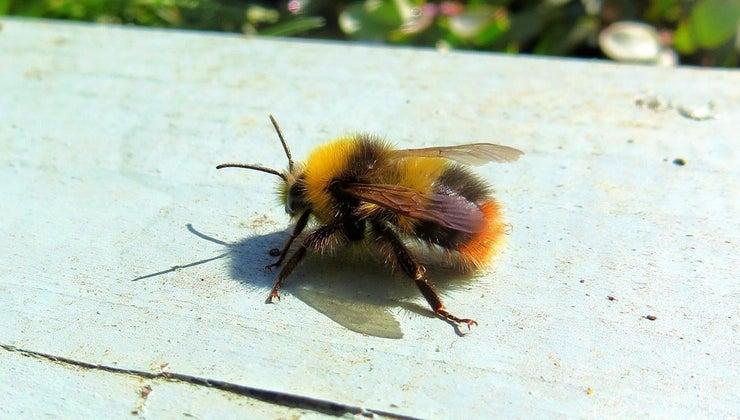 many-legs-bee