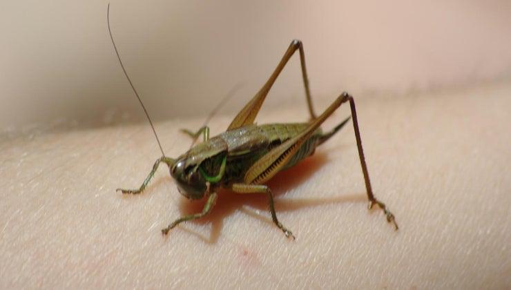 many-legs-grasshopper